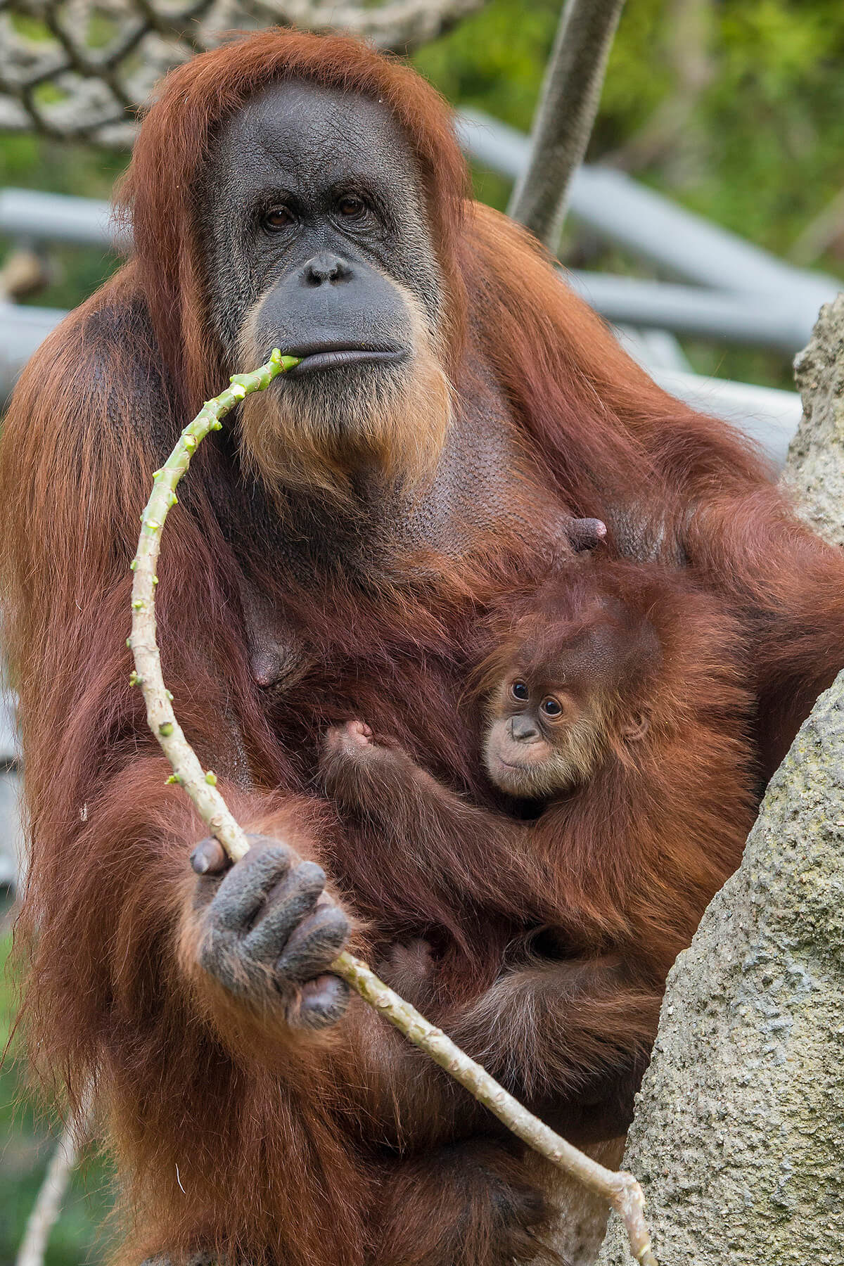 Not-to-Miss San Diego Zoo - Orangutan