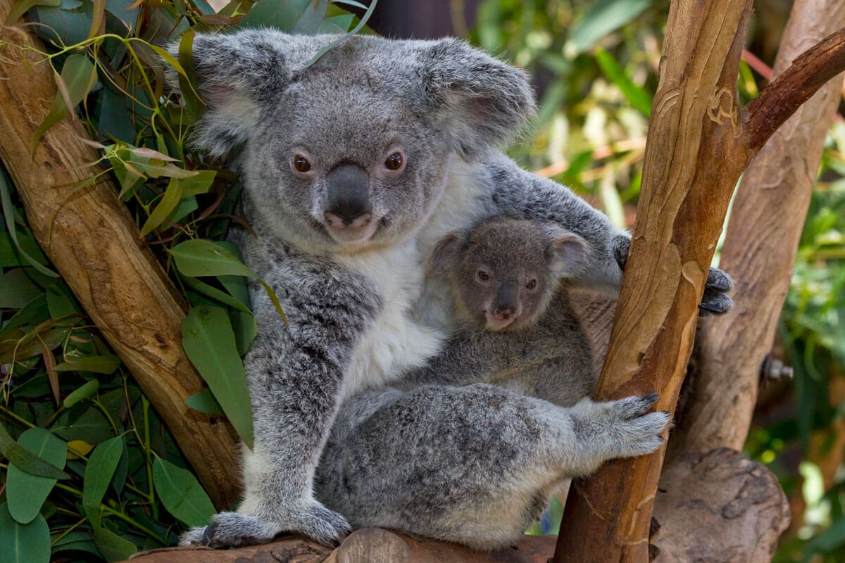 Not-to-Miss San Diego Zoo  - Koalas