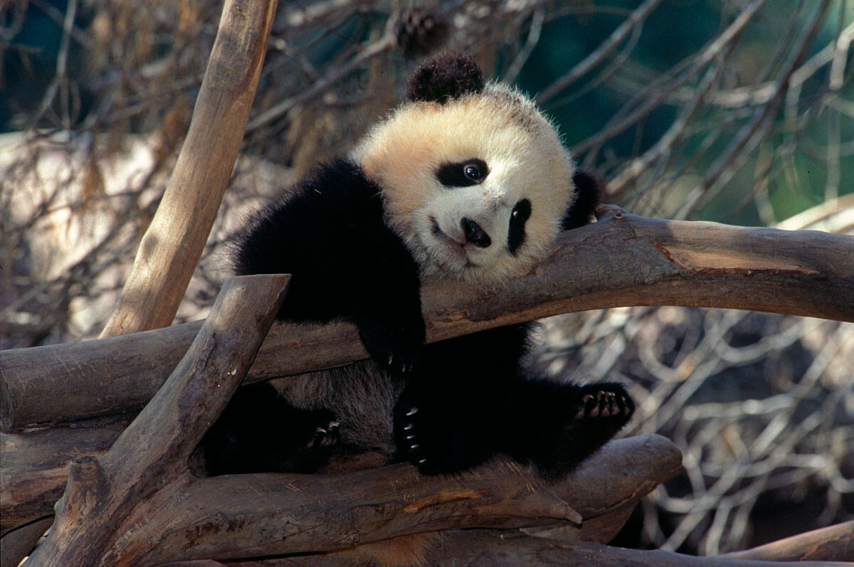 Not-to-Miss San Diego Zoo - Panda
