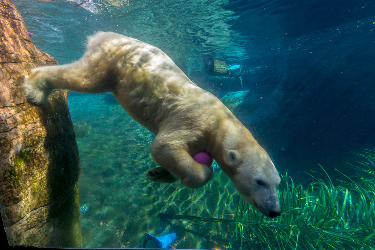 Not-to-Miss San Diego Zoo - Polar Bears