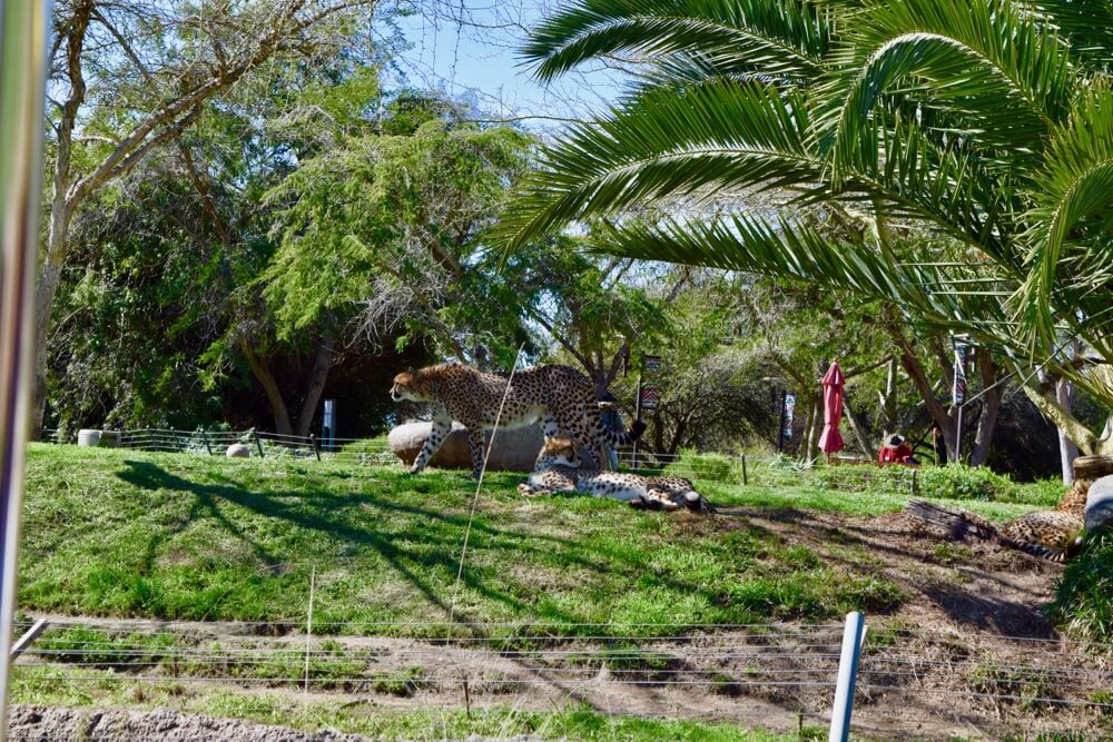 San Diego Zoo Safari Park Tips - Safari Park Cheetah