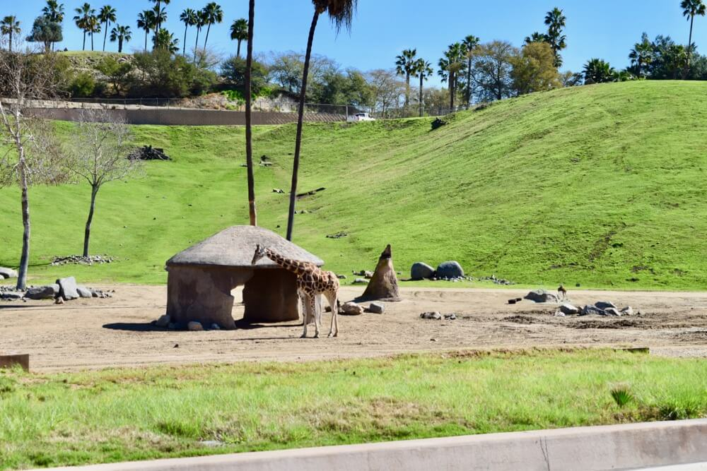 San Deigo Zoo Safari Park Tips - Safari Park Giraffe