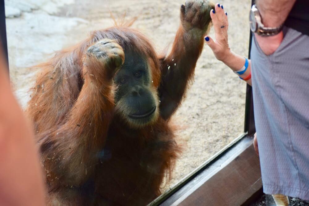 San Diego Zoo Tips - Orangutan at San Diego Zoo
