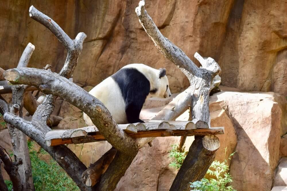 San Diego Zoo Tips - Panda at San Diego Zoo