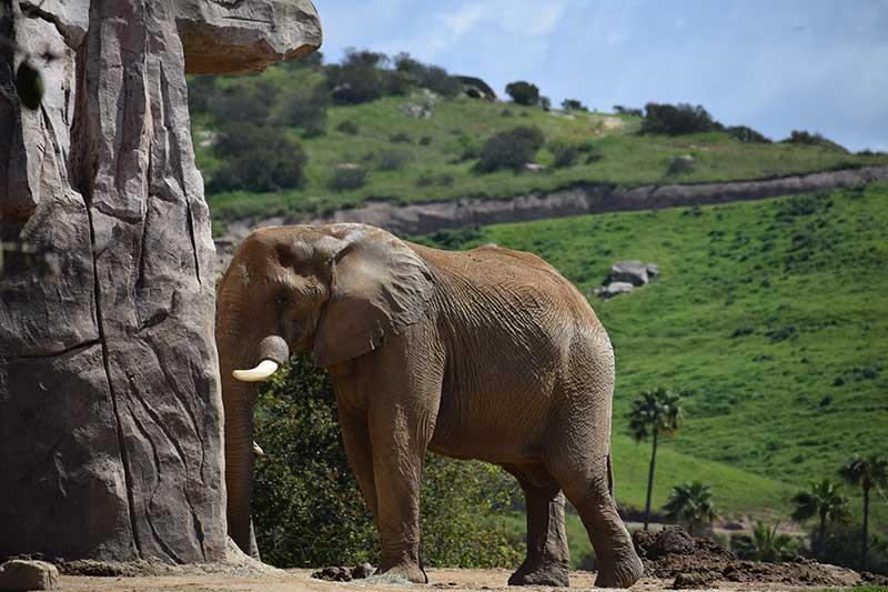 San Diego Zoo Safari Park Tips - Elephant