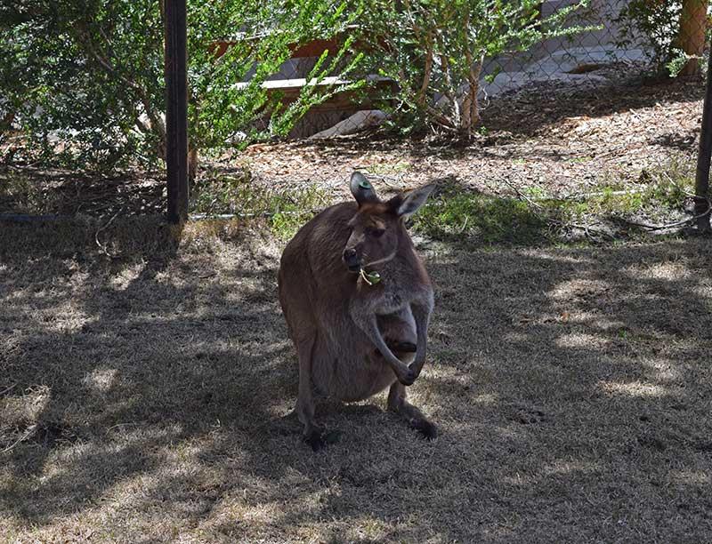 San Diego Zoo Safari Park Tips - Kangaroo