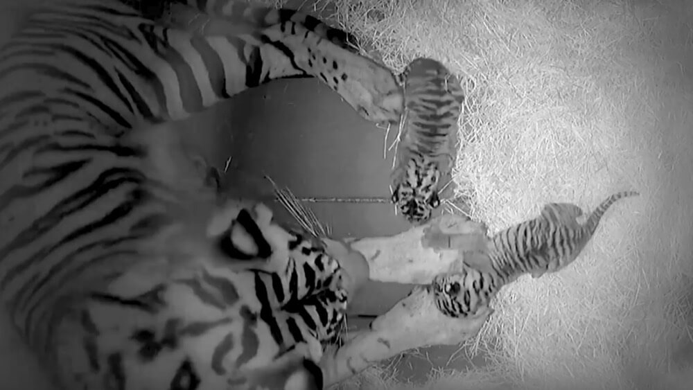 Guardians of the Galaxy — Monsters After Dark - Disney's Animal Kingdom Tiger Cubs