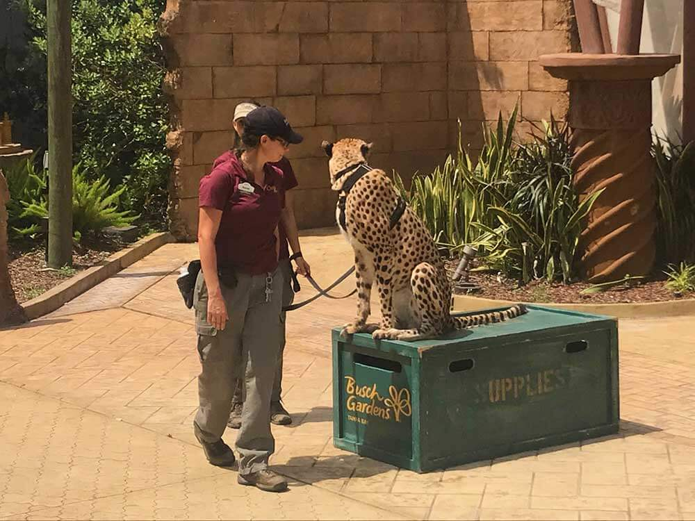 Busch Gardens Tampa - Cheetah