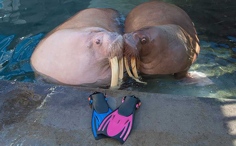 Love is In the Air - Walrus Pregnancy Announcement