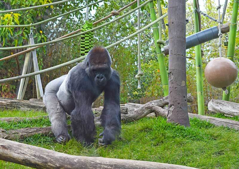 Not-to-Miss San Diego Zoo Exhibits and Attractions - Gorilla