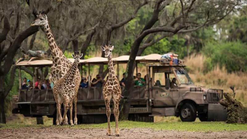 Jambo, Jabari! Celebrating Animal Kingdom's Newest Addition